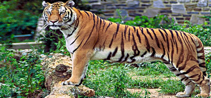 Tiger Spotted at Periyar WIldlife Sanctuary
