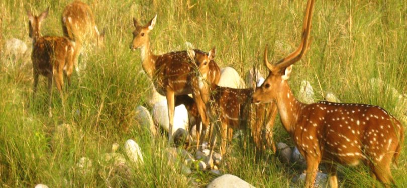Spotted Deers in Binsar Wildlife