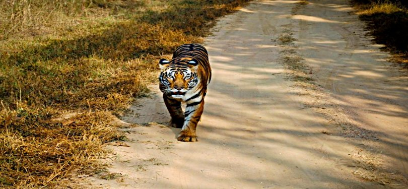 Tiger Spotted in Corbett National Park