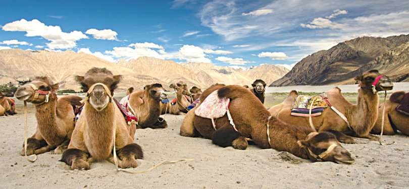 Camel riding in Nubra Valley