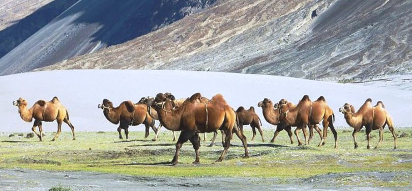 bacterian camel, nubra vallley