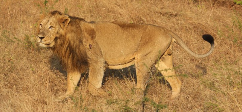 Lion Spotted in Gir Wildlife Sanctury