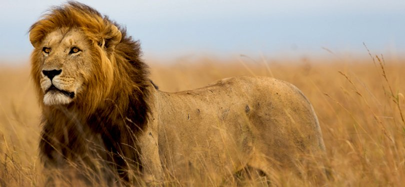 Lion Spoted in Tanzania