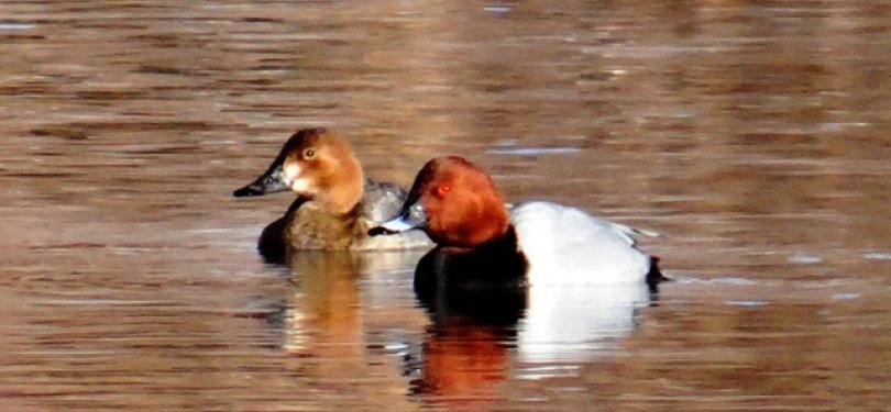 Common Pochard at Indus river basin