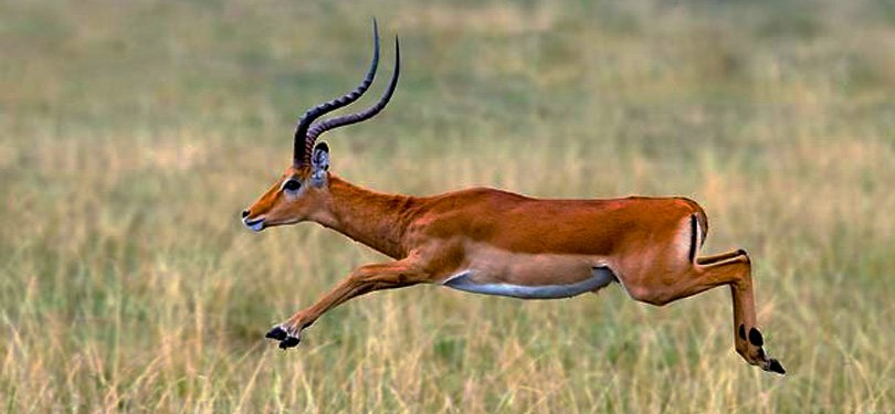 Running Deer in Tanzania