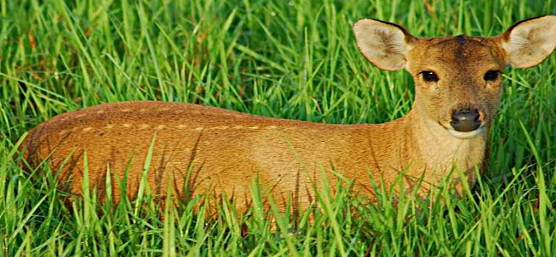 Baby Deer at Kaziranga National Park