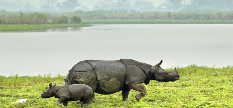 Rhinos at Kaziranga National Park Guwahati