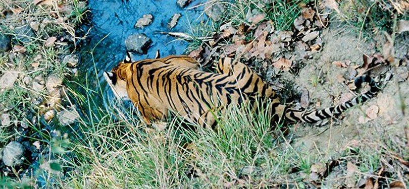 Tiger Captured Aerial View