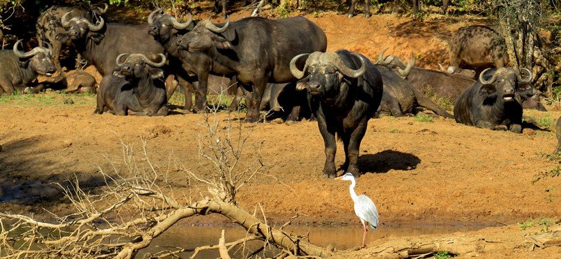 Wild Buffaloes in Group