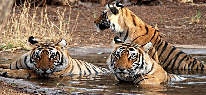 Tigers Spotted Bathing