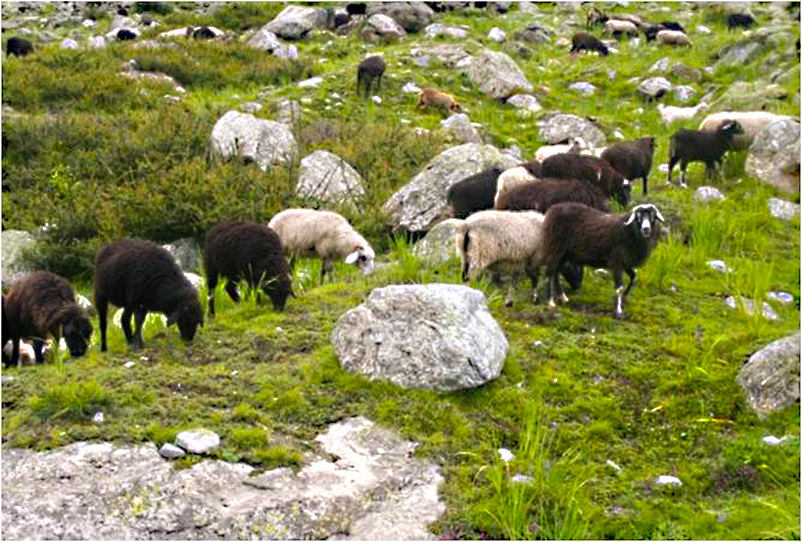 Sheep Badrinath